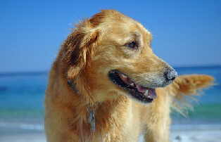 golden-retriever-on-beach
