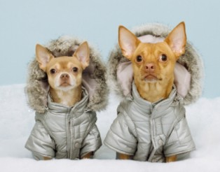 chihuahuas-in-coats-1