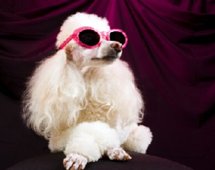 glamorous-poodle