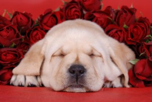 labrador-with-roses